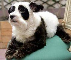 Panda... dog? No, it's Pandog!
