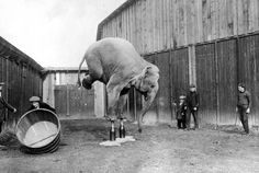 A circus elephant balancing on its front legs.