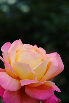 """Rose """"Diana.Princess of Wales"""" by Shingan Photography, via Flickr"""