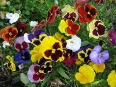 tarhaorvokki - Viola Wittrockiana-ryhmä Fancy, Plants, Plant, Planets