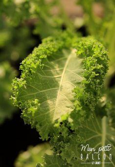 Faire pousser du chou kale dans un potager sur balcon avec Noocity - Mon Petit Balcon Le Chou Kale, Parsley, Cabbage, Herbs, Sony, Chicago, New York, Cooking Kale, Farmer
