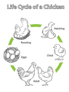 Life Cycle of a Chicken coloring page from Chicken category. Select from 24104 printable crafts of cartoons, nature, animals, Bible and many more. Bird Life Cycle, Life Cycle Craft, Chicken Coloring Pages, Colouring Pages, Farm Activities, Science Activities, Sequencing Activities, Science For Kids, Science And Nature