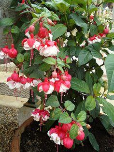 Love Fuschia.....reminds me of little fairies or ballarinas