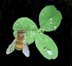 Bee drinking water drops from a clover leaf
