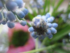 Helmililja, helmihyasintti, Muscari armeniacum