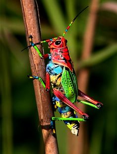Multicolored grasshopper detail photography