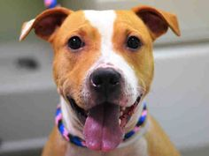 SAFE --- Manhattan Center   PINKY - A1018271   FEMALE, TAN / WHITE, PIT BULL MIX, 3 yrs OWNER SUR - EVALUATE, NO HOLD Reason OWN EVICT  Intake condition EXAM REQ Intake Date 10/21/2014, From NY 10027, DueOut Date 10/21/2014,     New thread: https://www.facebook.com/photo.php?fbid=892390500773830