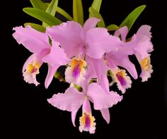Orchid: Cattleya mossiae - Flickr - Photo Sharing!