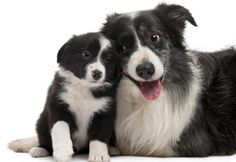 10 Things Humans Do That Annoy Dogs (These are border collies.)