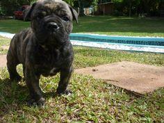 Lovely darlk Bulldog Campeiro puppy photo