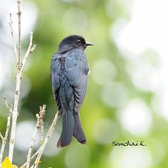 Moluccan Drongo-Cuckoo(Surniculus musschenbroeki)