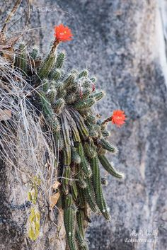 An Echinocereus sp. in Alamos Sonora Mexico, grows on granite cliff, 19 April 2017.