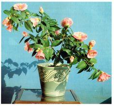 Camellia hybrids