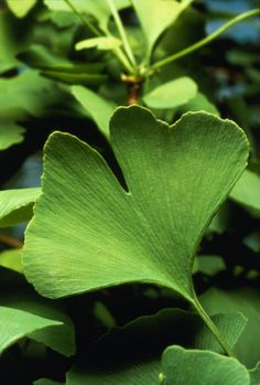 Aphrodisiac: Ginko Biloba; dried leaves act as an aphrodisiac, increases focus, combines well with Cannabis.