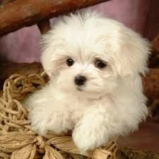 Dear future husband. Surprise me with this for Christmas. White Maltese Puppies