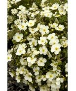 Potentilla, Frosty (Potentilla fruticosa 'Monsidh') A versatile small shrub producing large frost-white single rose-like flowers. Finely textured foliage on a mounding form. Use as a colorful accent in front of shrub borders. Deciduous. 1.5' x 3'