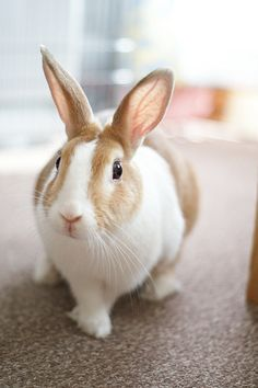 This bunny looks just like my Kismo in his younger years. Those big ears!!! I miss him every day, what a special bunny he was....