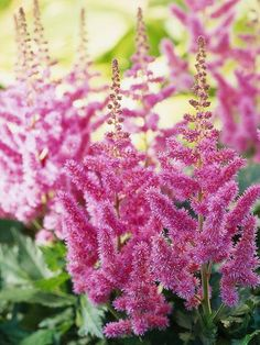 Astilbe - late spring early summer, pink/white/red, good for shady moist spots. (Would be good for my problem pot)