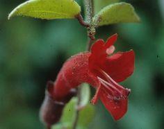 Flor de Batom - Imagens de Flores