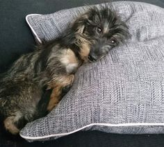 Wire Haired Terrier, Wire Haired Dachshund, Mini Dachshund, Daschund, Baby Puppies, Cute Puppies, Cute Dogs, Dogs And Puppies, Scottish Terrier