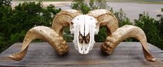 Beautiful RAM Skull with Double Curled Horns from Texas - I am so in love with this guy!!! Gorgeous horns!!!