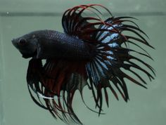 black-red-devil-mix-double-Ray-Crowntail-betta-C16