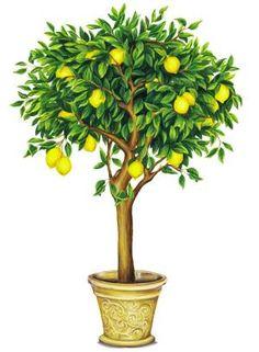 Resultado de imagen de lemon tree drawing