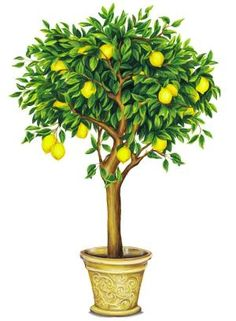 lemon tree drawing - Bing Images
