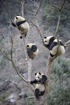 First panda: Hey guys, how do we get down? second panda: Idk. Should we just climb down? fourth panda: NO! third panda: Should we just drop? the other pandas: Sounds fair. Nature Animals, Baby Animals, Funny Animals, Cute Animals, Wild Animals, Wildlife Nature, Niedlicher Panda, Cute Panda, Wild Panda