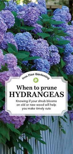 Learn how and when to prune hydrangeas to keep them blooming and growing year after year.Learn how and when to prune hydrangeas to keep them blooming and growing year after year. Hydrangea Tree, Hydrangea Garden, Garden Shrubs, Shade Garden, Garden Plants, Hydrangea Colors, Flowering Plants, Hydrangea Shrub, Hydrangea Not Blooming