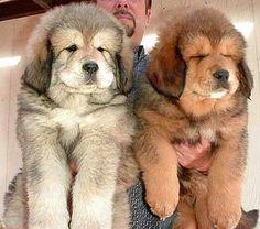 Tibetan Mastiffs...its so FLUFFY!