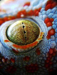 Chameleon Eye - The eyes of chameleons allow 360˚ vision because they are mounted on conical turrets that can move independently of each other.
