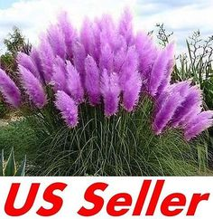 200-PCS-Ornamental-PURPLE-PAMPAS-GRASS-Cortaderia-Selloana-Seeds-G2-Garden-DIY