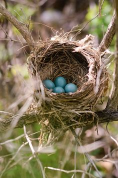 Spring ~ new eggs! An amazing bird's nest which holds four robin's egg's blue bird eggs! Nester, Tier Fotos, Hello Spring, Bird Feathers, Beautiful Birds, Spring Time, Spring Months, Pet Birds, Mother Nature