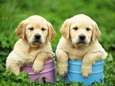 Labrador puppies.                                                                                                                                                                                 More