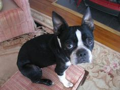 Darla is looking for her forever home She hasn't had a good life so far but we know she has the perfect parents out there for her. Boston Terrier Adoption, Boston Terrier Dog, North Augusta, Pugs, Cute Dogs, Dogs And Puppies, Life Is Good, Bff, Parents