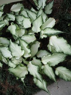 Caladium 'White Ruffles' / Caladium 'White Ruffles' - zone 10 and 11 soil must be warm, can be planted in sun to part sun Garden Bulbs, Shade Garden, Garden Plants, Tropical Garden, Tropical Plants, Variegated Plants, House Plants Decor, Plants Are Friends, Foliage Plants