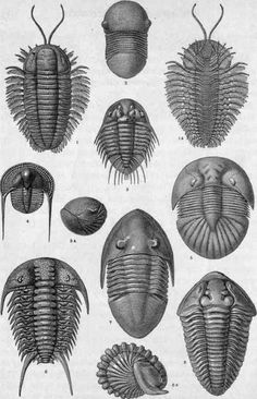 Ordovician Trilobites.   I wish these guys were still alive, I would have one as a pet.