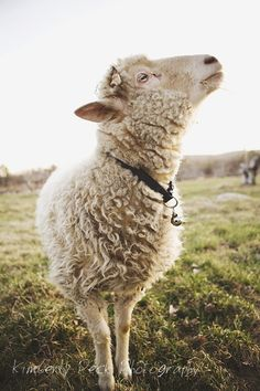Sheep feels majestic