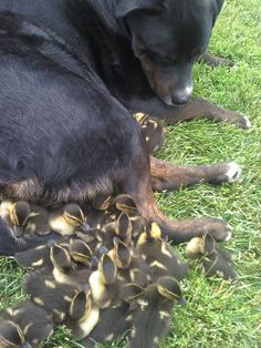 Dog and duck love, so cute
