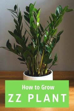 Zz Plant Care, House Plant Care, How To Water Succulents, Weird Plants, Inside Plants, Plants Indoor, Light House, Plant Needs, Growing Flowers