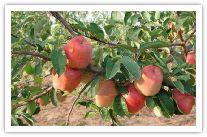 Apple Valley Nurseries - Bedford, VA.  Heirloom fruit trees for planting.