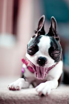 So happy!!!!!  Boston Terrier