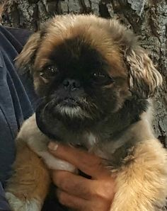 Pekinese, Funny Pictures, Dogs, Animals, Fanny Pics, Animales, Animaux, Funny Pics, Pet Dogs