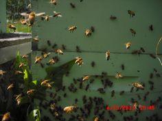 Bees on their orientation flight.