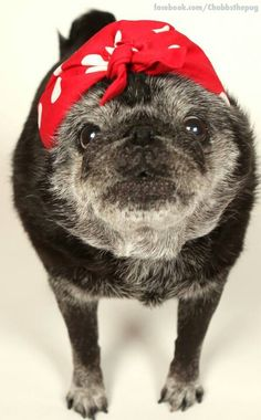 This has to be one of the most precious angels of all time! Old Pug, Puppy Finder, Pug Mug, Pugs And Kisses, Pug Pictures, Dog Stories, Black Pug, Puppy Care, Cute Pugs