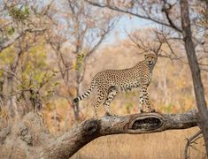Photo by @andywcoleman // Adult cheetah are generally not good tree climbers but will jump up on low hanging branches and fallen trees  They spend a great deal of time looking for high places to search for both predators and prey.  This young male was definitely in search of prey but was hunting in an area that was virtually free of other animals on this afternoon.  He ended up taking a nap instead while waiting for his luck to turn.  Taken while on safari at Sabi Sabi Earth Lodge in South…