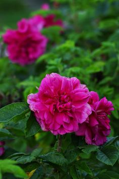 Distinctive Gifts Mean Long Lasting Recollections Rosa Rugosa 'Hansa' Unique Presents, My Secret Garden, Just Do It, Pretty Flowers, Bellisima, Garden Plants, Pink Roses, Special Gifts, Perennials
