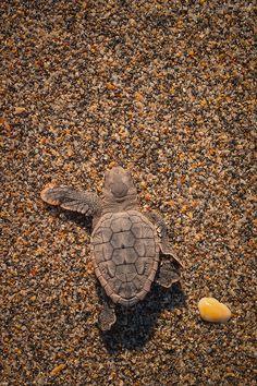 Little Sea Turtle.