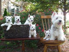 Savannah's puppies #westies #westhighlandterrier #cascadingwestiesofgeorgia…